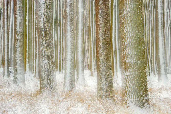 English oaks (Quercus robur) trees with snow on trunks, Gespensterwald / Ghost wood, Nienhagen, Germany, January Rights-managed stock photo