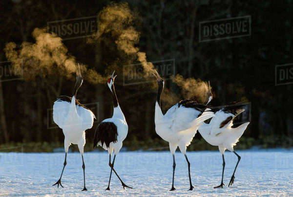 Red-crowned Cranes (Grus japonensis) displaying at dawn Hokkaido, Japan, February Rights-managed stock photo