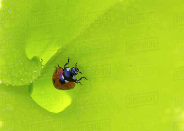 Seven-spotted lady beetle (Coccinella septempunctata) inside the funnel leaf of Pitcher plant, Alabama, USA. May 2014. Rights-managed stock photo