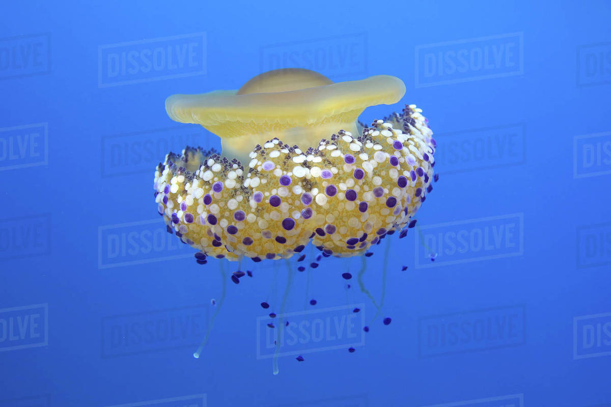 Fried egg jelly fish (Cotylorhiza tuberculata) Mediterranean Sea  stock  photo