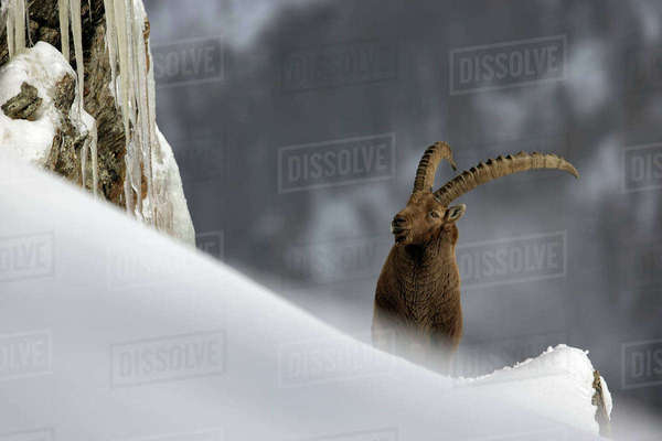 Alpine Ibex (Capra ibex) standing on a ridge in a winter mountain landscape. Gran Paradiso National Park, Italy. December Rights-managed stock photo