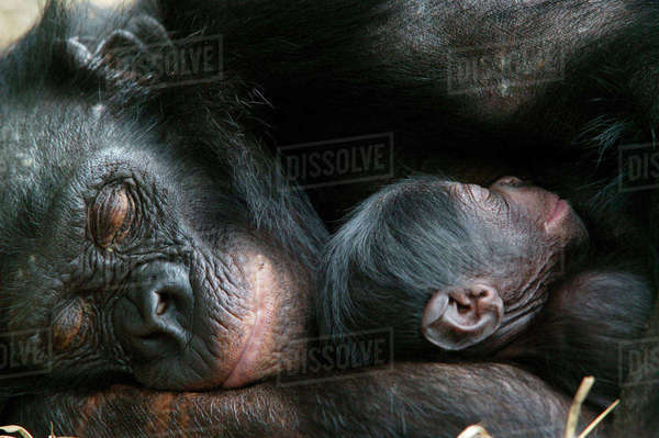 Bonobo (Pan paniscus) mother resting with her newborn baby, Lola Ya Bonobo Sanctuary, Republic of the Congo.  Rights-managed stock photo