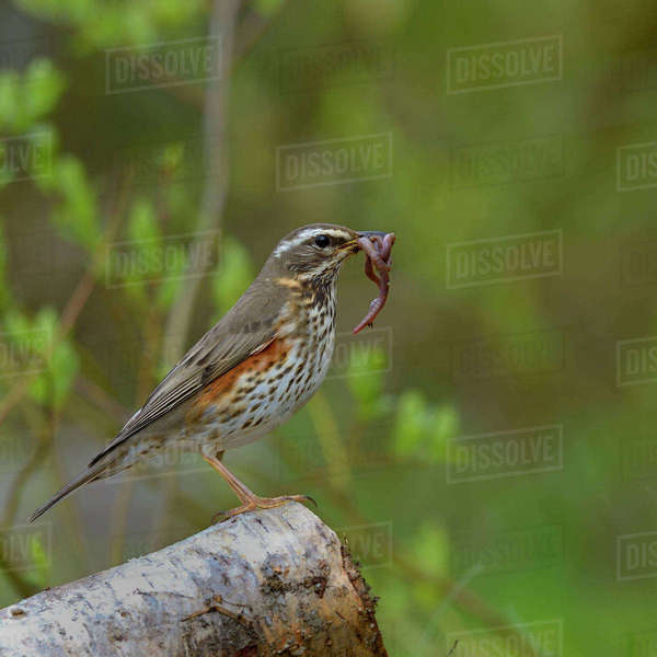 Red wing (Turdus iliacus) with earthworm prey, Finland, April. Rights-managed stock photo
