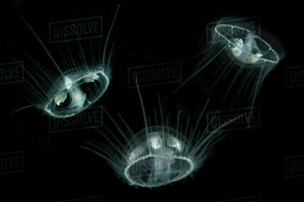 Freshwater jellyfish (Craspedacusta sowerbii) Lugano lake, Ticino, Switzerland. August. Invasive species. Rights-managed stock photo