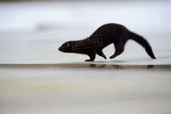 American mink (Mustela vison) running on ice, Tartumaa, Estonia, January. Introduced species. Rights-managed stock photo