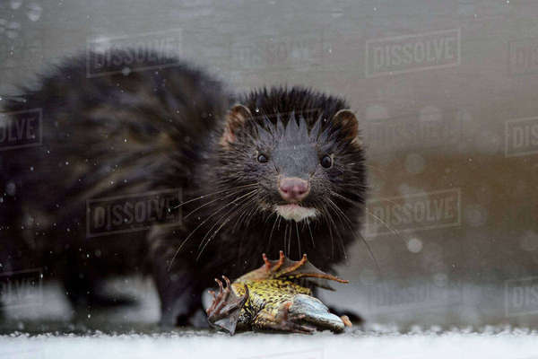 American mink (Mustela vison) on ice with Common frog (Rana temporaria) prey, Tartumaa, Estonia, January. Introduced species. Rights-managed stock photo