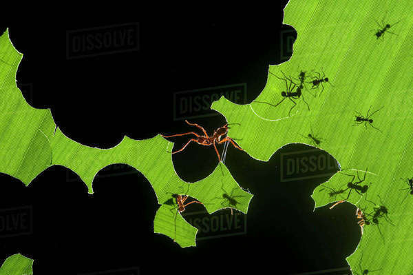 Leafcutter ants (Atta sp) colony harvesting a banana leaf, Costa Rica. 3rd place in the Insects and Spiders category of the Terre Sauvage Nature Images Awards competitions 2015. Rights-managed stock photo