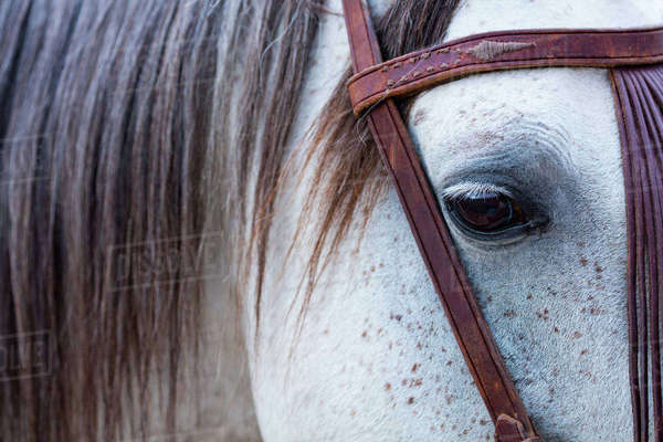 Close up of horse wearing bridle, Sierra de Gredos, Avila, Castile and Leon, Spain. Rights-managed stock photo