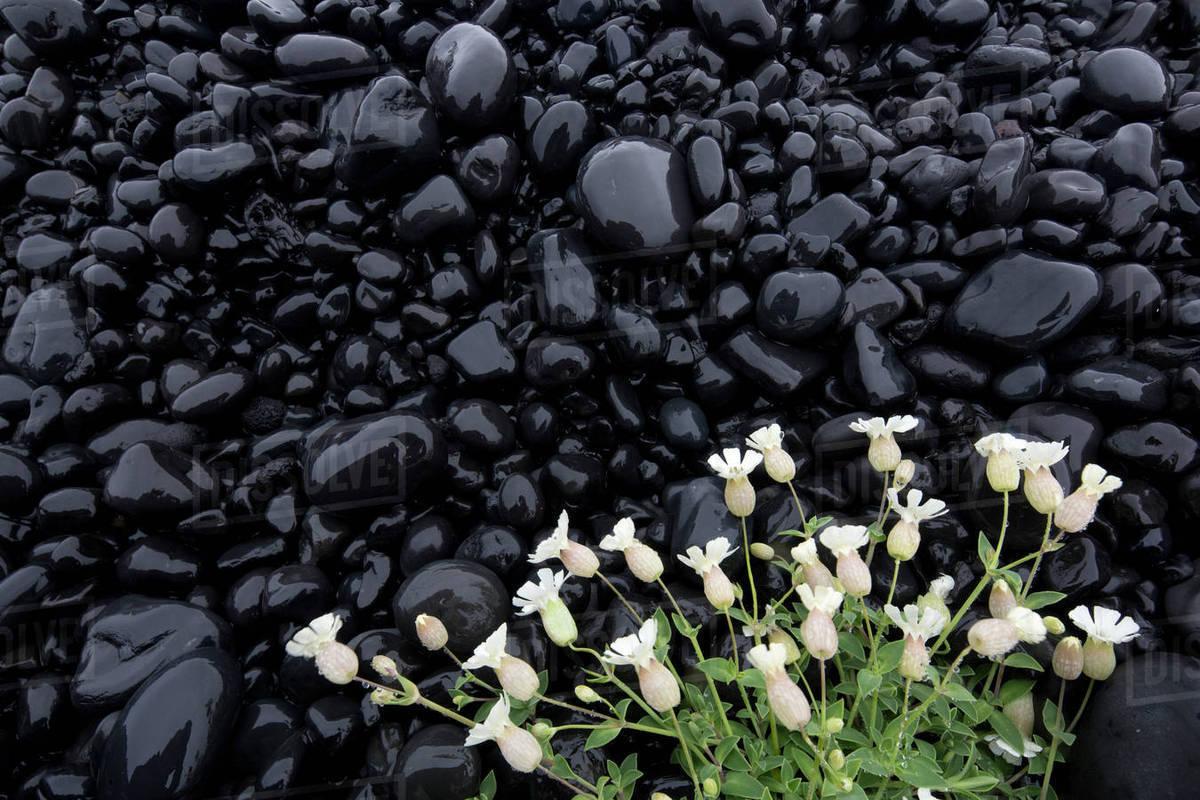Sea Campion Silene Uniflora White Flowers Growing On Black