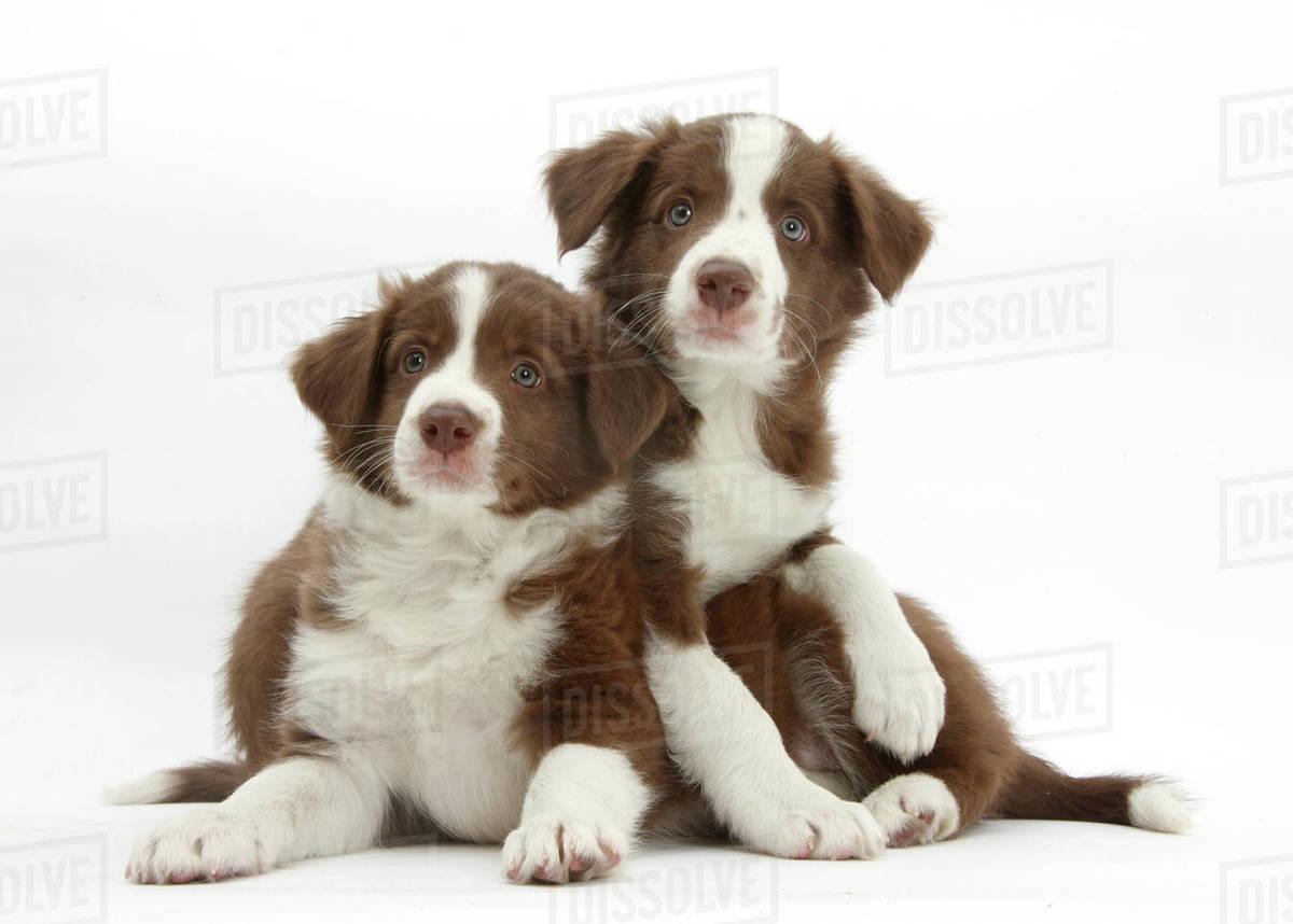 Chocolate Border Collie Puppies Age 7 Weeks Stock Photo Dissolve