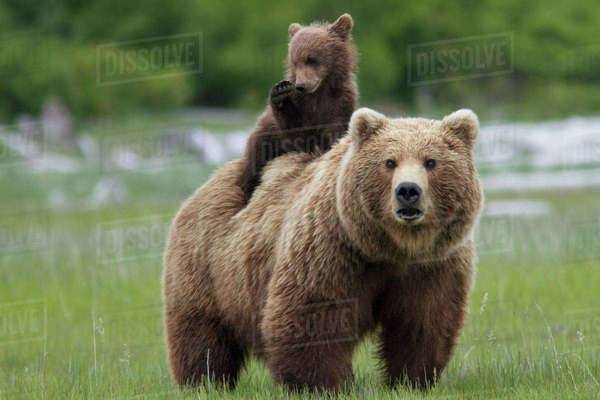 Grizzly bear (Ursus arctos horribilis) female with cub riding on back, Katmai National Park, Alaska, USA, August. Rights-managed stock photo