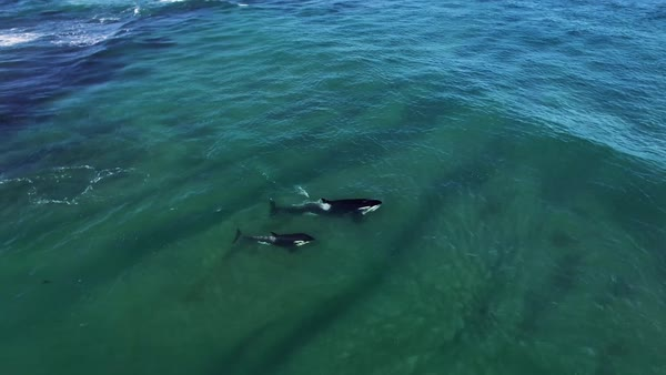 Killer whales swimming in the Patagonian Sea. Royalty-free stock video