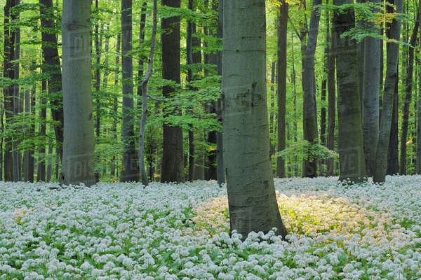 Ramsons (Allium ursinum) in European Beech (Fagus sylvatica) Forest in Spring, Hainich National Park, Thuringia, Germany Royalty-free stock photo