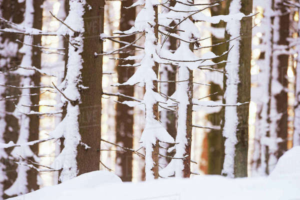 Close-up of  Norway spruce (Picea abies) tree trunks in forest, covered in snow in winter, Bavarian Forest, Bavaria, Germany Royalty-free stock photo