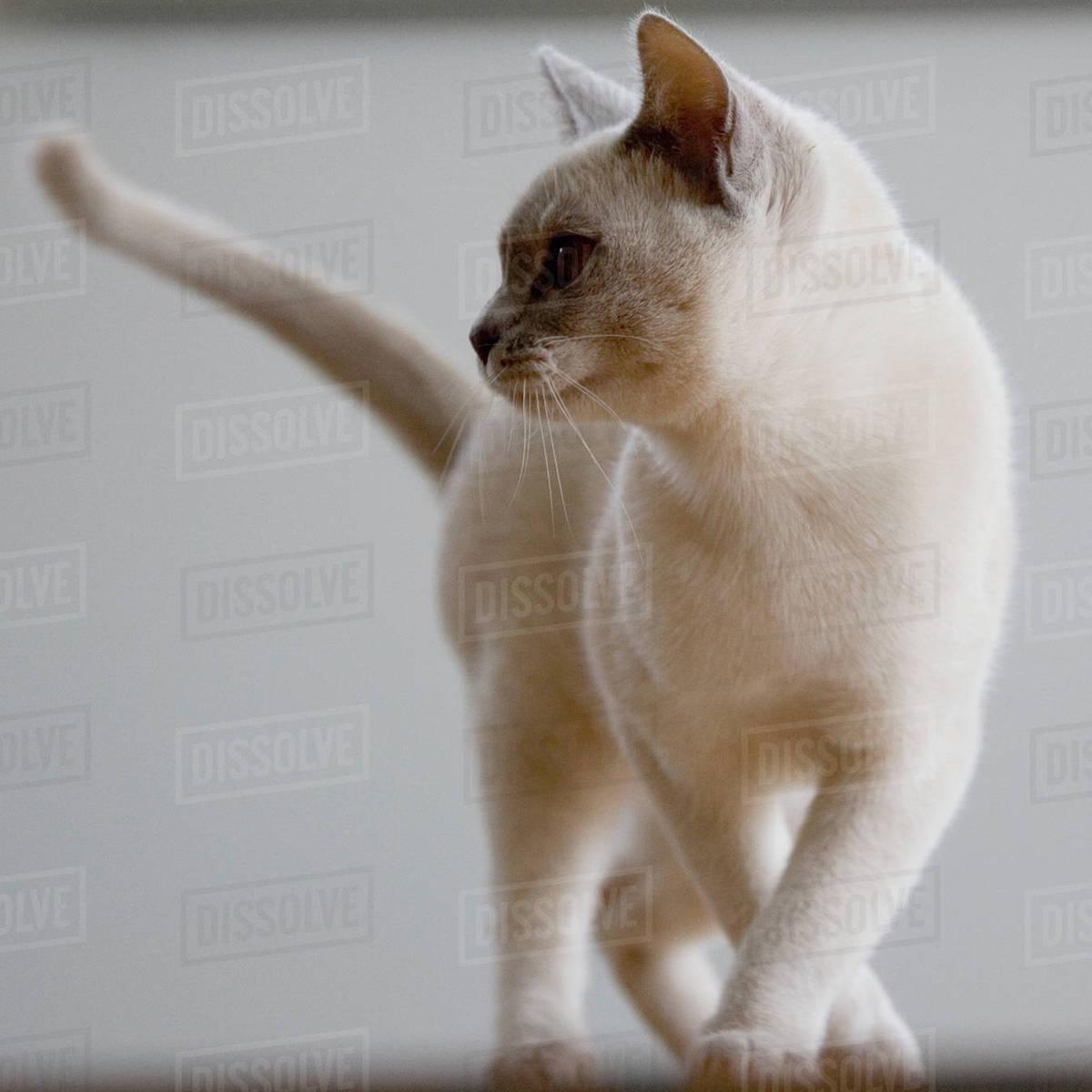 Burmese cat Royalty-free stock photo