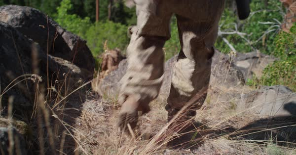 Boots of a hunter walking over a rock on the side of a mountain range. Royalty-free stock video