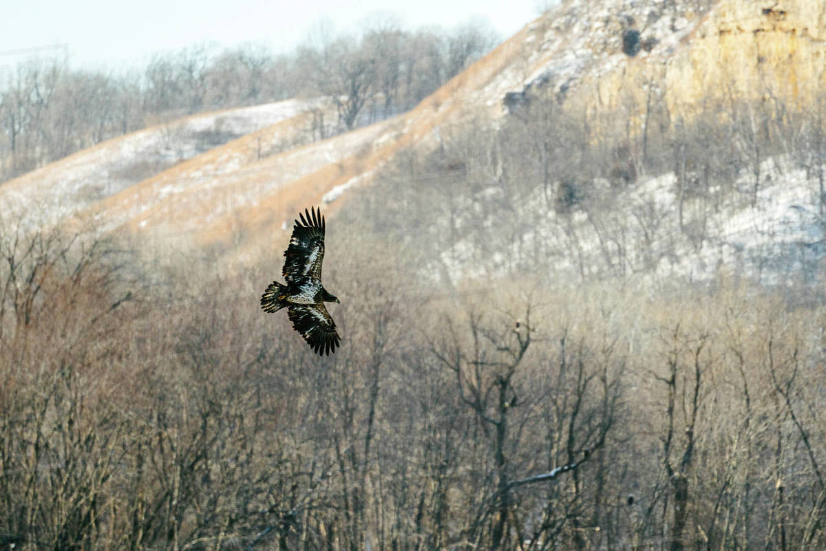 A juvenile bald eagle flies in front of some trees Royalty-free stock photo