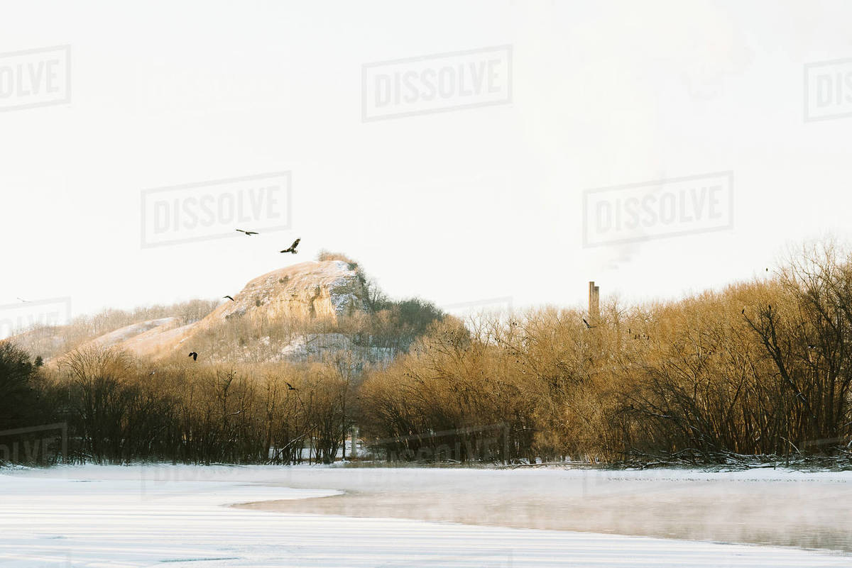 Bald Eagles gather along a frozen river in winter Royalty-free stock photo