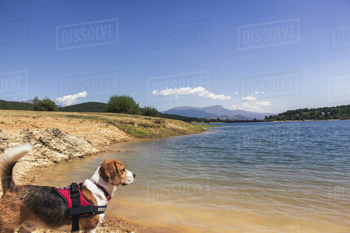 Pretty Beagle dog enjoying nature Royalty-free stock photo