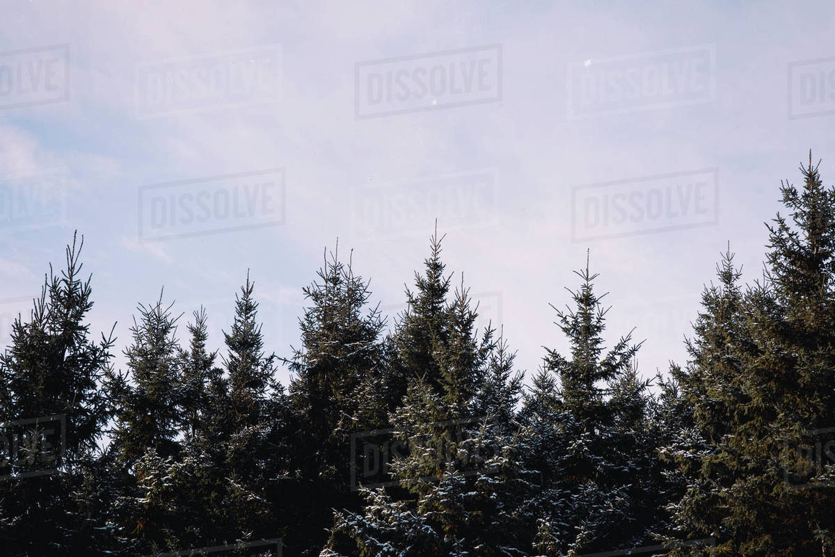 Snow caped pine trees and winter sky Royalty-free stock photo