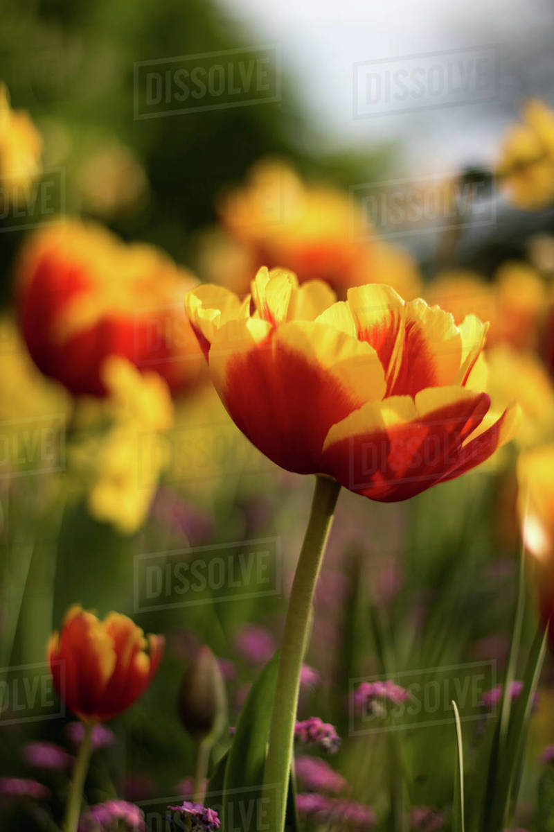 A beautiful tulip in the country side Royalty-free stock photo