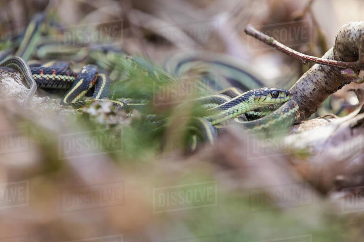Garter snake in mating snake ball Royalty-free stock photo