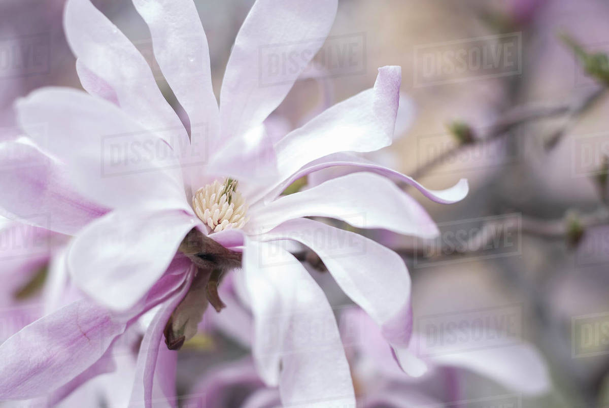 Delicate and pink magnolia flower in full bloom in spring Royalty-free stock photo