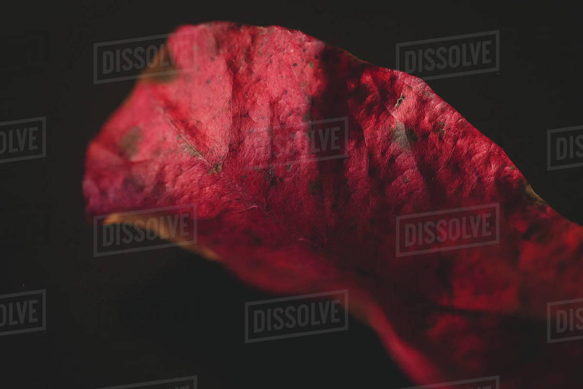 Red Leaf Royalty-free stock photo