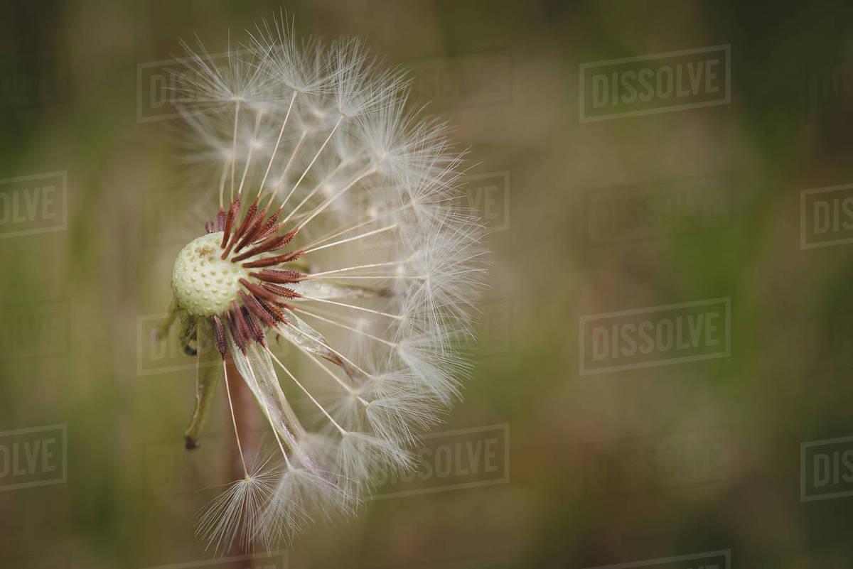 Half Dandelion Royalty-free stock photo