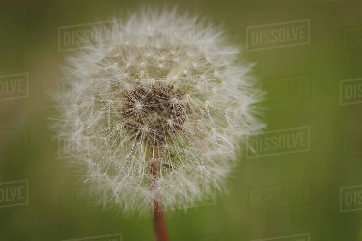 Dandelion Seedhead Royalty-free stock photo