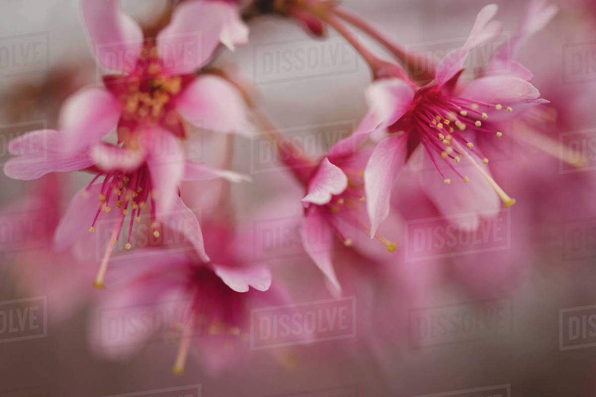 Pink Blooms Royalty-free stock photo