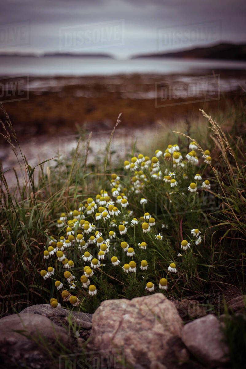 Wild daisies on the coast of Scotland Royalty-free stock photo