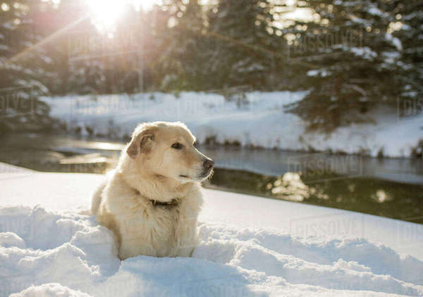 Dog looking away while relaxing on snowy field by river Royalty-free stock photo