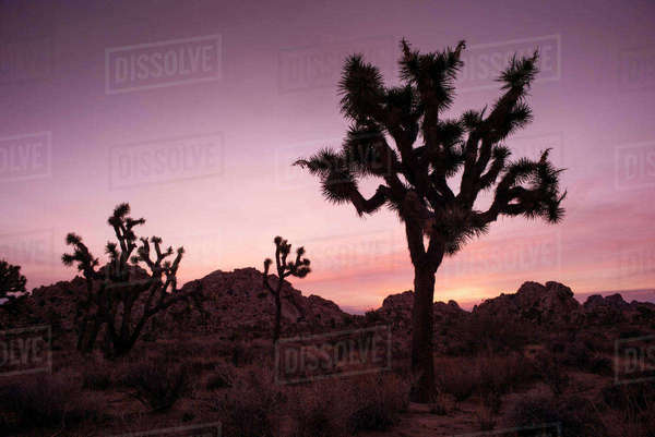 Plants growing on field at Joshua Tree National Park during sunset Royalty-free stock photo