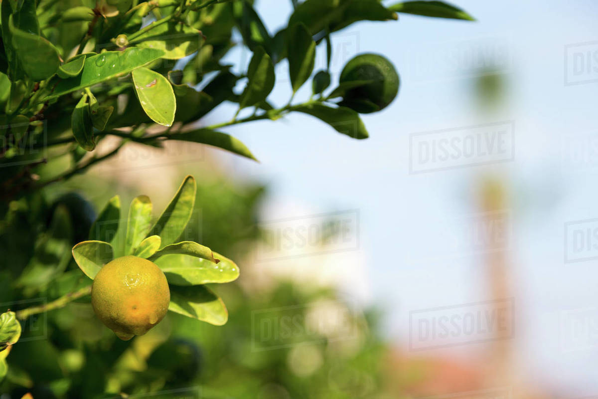 Tangerine trees with unripe fruits and green leaves Royalty-free stock photo