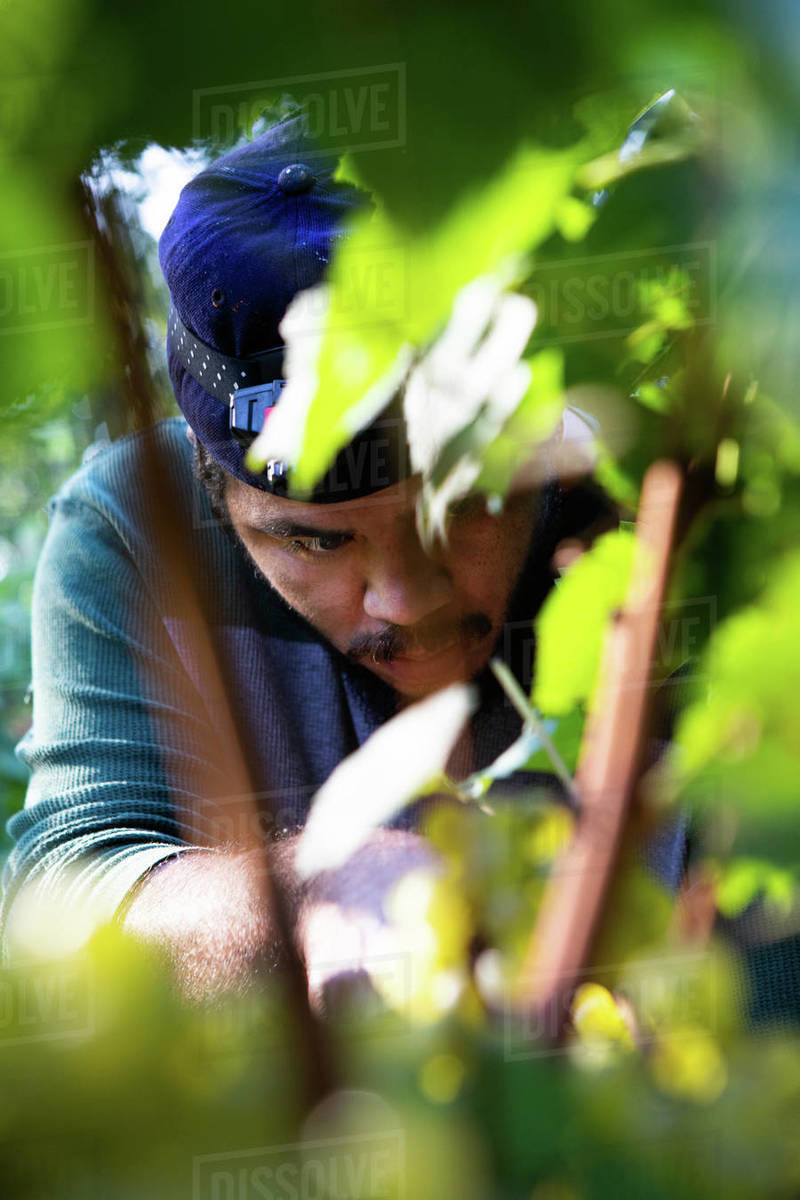 September Grape Harvest Royalty-free stock photo