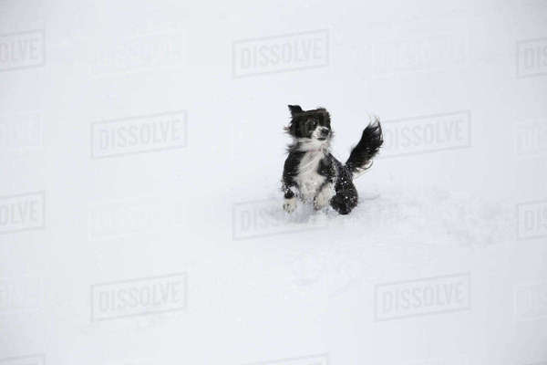 Border Collie running on snow covered field Royalty-free stock photo
