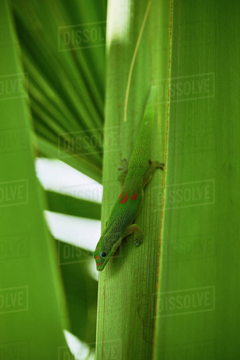 A Gold Dust Day Gecko poses for his close up on the Big Island, Hawaii Royalty-free stock photo