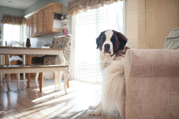 Portrait of Saint Bernard sitting on chair at home Royalty-free stock photo