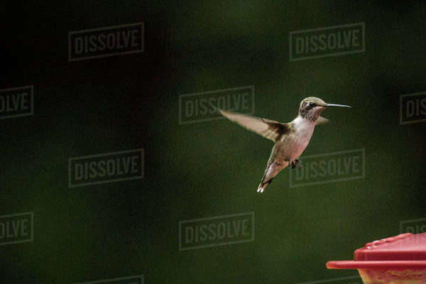 Hummingbird flying over birdfeeder at park Royalty-free stock photo