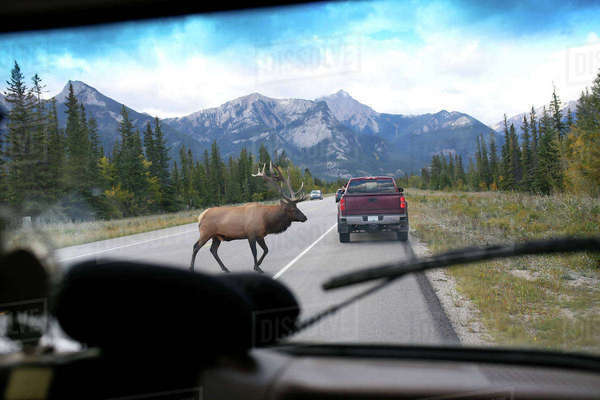 Elk crossing road seen through car windshield at Jasper National Park Royalty-free stock photo