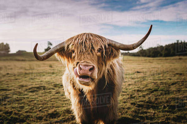 Portrait of highland cattle at grassy field against sky Royalty-free stock photo
