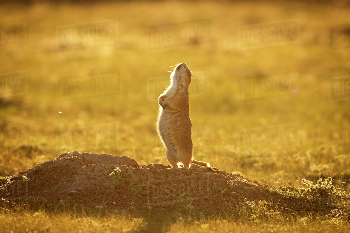 3f0af039763 Black-Tailed Prairie Dog standing on field during sunset - Stock ...