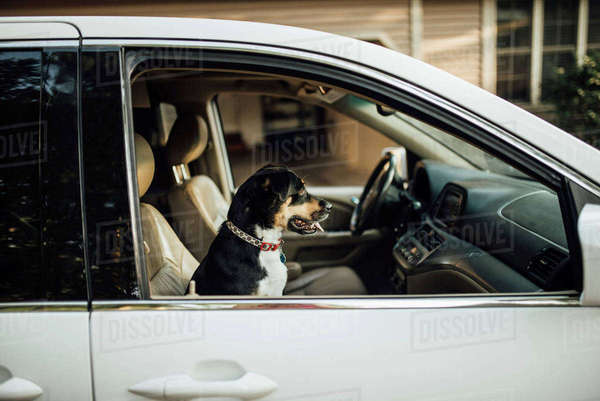 Side view of dog in car Royalty-free stock photo