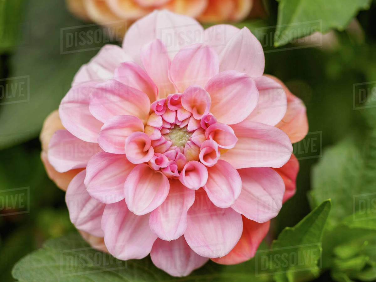 Close Up Of Dahlia Pinnata Blooming Outdoors Stock Photo Dissolve