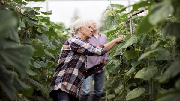Senior woman with tablet pc computer checking cucumber plants and man calling on cellphone in greenhouse on farm Royalty-free stock video