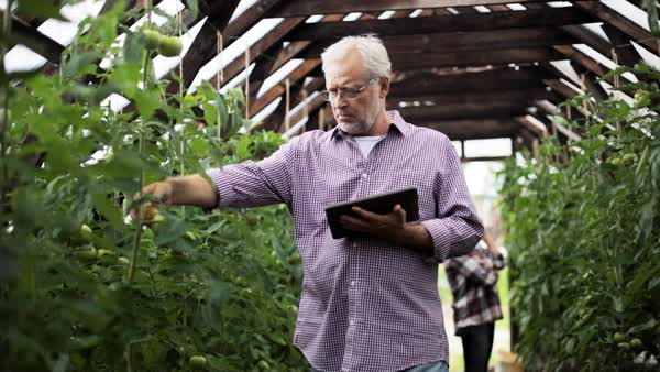 Senior man with tablet pc computer checking tomato plants and woman calling on cellphone in greenhouse on farm Royalty-free stock video
