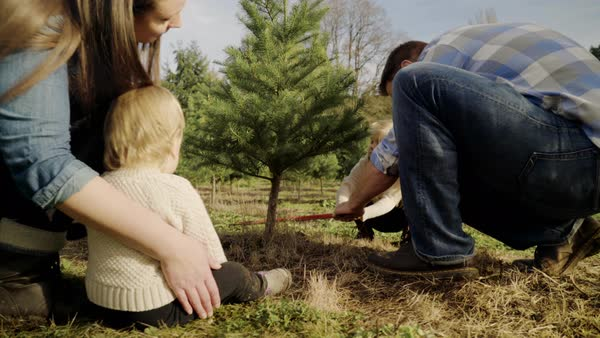 Panning shot of a family cutting a pine tree at a tree farm Royalty-free stock video