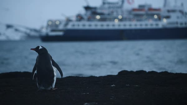 Hand-held shot of a Gentoo penguin standing at waterfront Royalty-free stock video