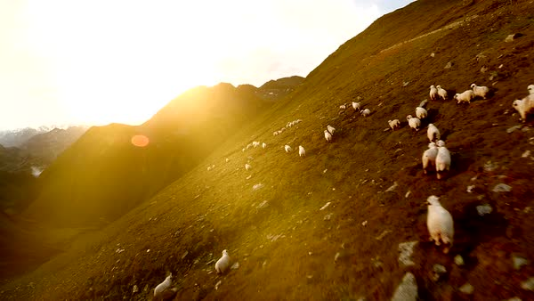 Aerial shot of a flock of sheep in mountain landscape at sunset in Switzerland Royalty-free stock video